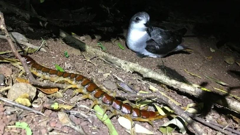 Gigantyczne pareczniki co roku zabijają tysiące australijskich ptaków /Geekweek