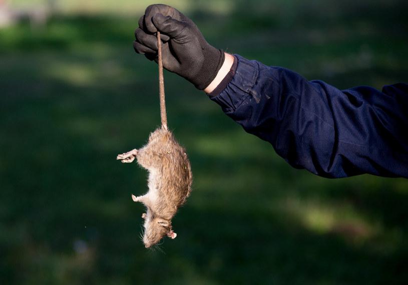 Gigantyczne szczury coraz śmielej przedostają się do angielskich domów. Interwencje specjalistów są nieuniknione /123RF/PICSEL