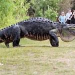 Gigantyczny aligator sieje postrach na Florydzie