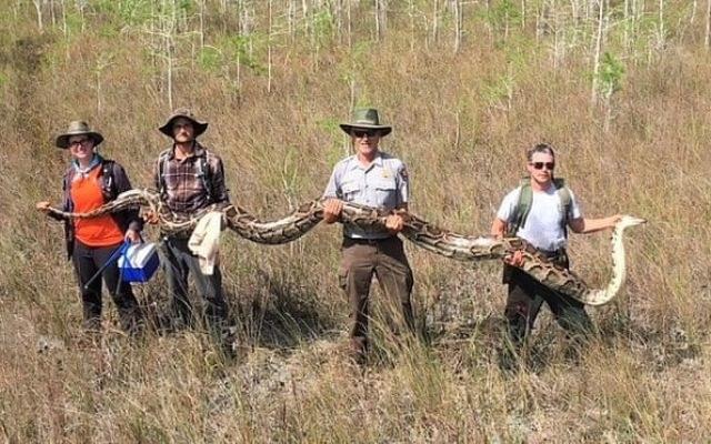 Gigantyczny pyton pochwycony na Florydzie /materiały prasowe