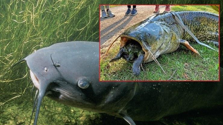 Gigantyczny sum chciał zjeść żółwia. /Polsat