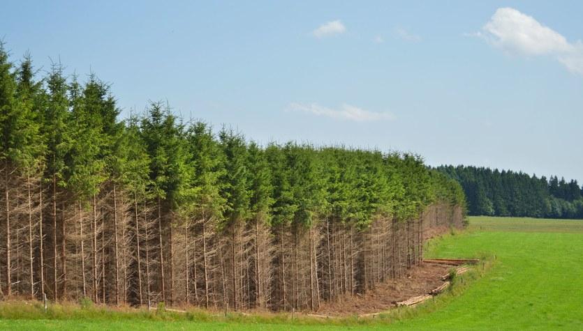 Giną świerki i sosny. Zmiany klimatyczne w polskich lasach już widać