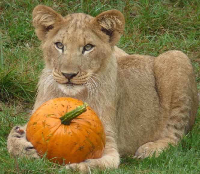 Givskud Zoo słynie m.in. z dużej populacji lwów /materiały prasowe