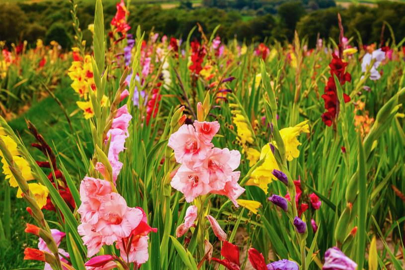 Gladiole: sadzenie, uprawa, zimowanie /123RF/PICSEL