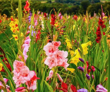Gladiole: Sadzenie, uprawa, zimowanie