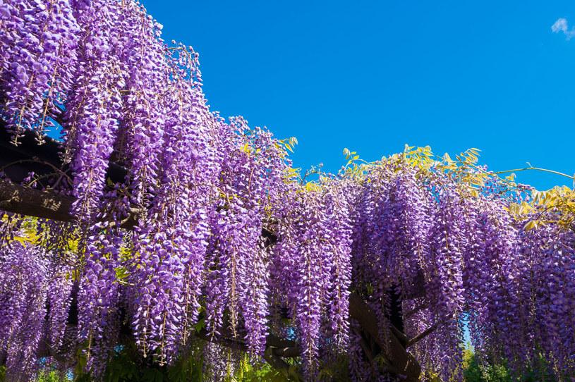 Glicynia to pnącze dla cierpliwych, na jej kwiaty trzeba czekać nawet kilka lat /123RF/PICSEL