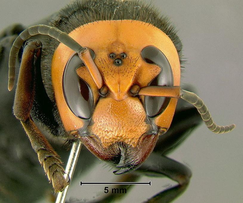 Głowa szerszenia azjatyckiego. Fot. Gary Alpert /Wikipedia