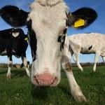 Główny Lekarz Weterynarii: Krowy ze Słowacji nie mają objawów wąglika