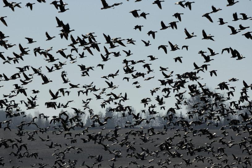 Główny Lekarz Weterynarii ostrzega przed wysoce zjadliwą grypą ptaków /Piotr Placzkowski /Reporter