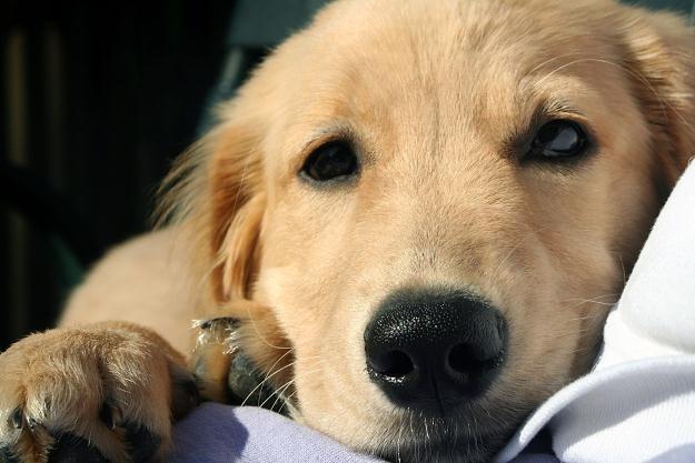 Gminy ustalają z reguły, że opłatę za psa za dany rok należy uiścić do 31 marca /©123RF/PICSEL