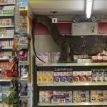 """""""Godzilla istnieje!"""". Ogromny waran na półce sklepowej"""