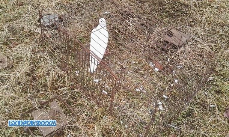 Gołąb pomógł dolnośląskim policjantom /Policja