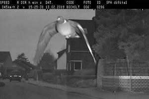 Gołąb przekroczył prędkość. Złapał go fotoradar