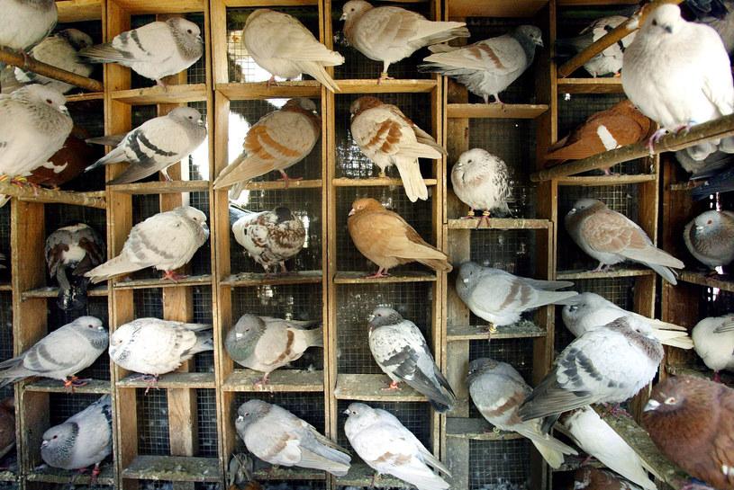 Gołębie były już używane do przekazywania wiadomości na granicy pakistańsko-indyjskiej. /East News