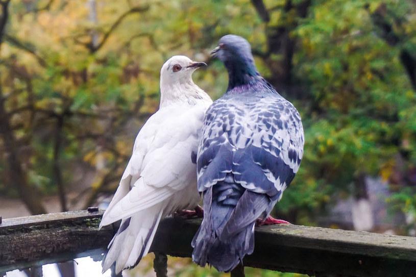 Gołębie na balkonie /©123RF/PICSEL