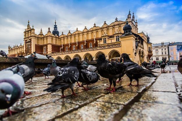 Gołębie na krakowskim Rynku Głównym /©123RF/PICSEL