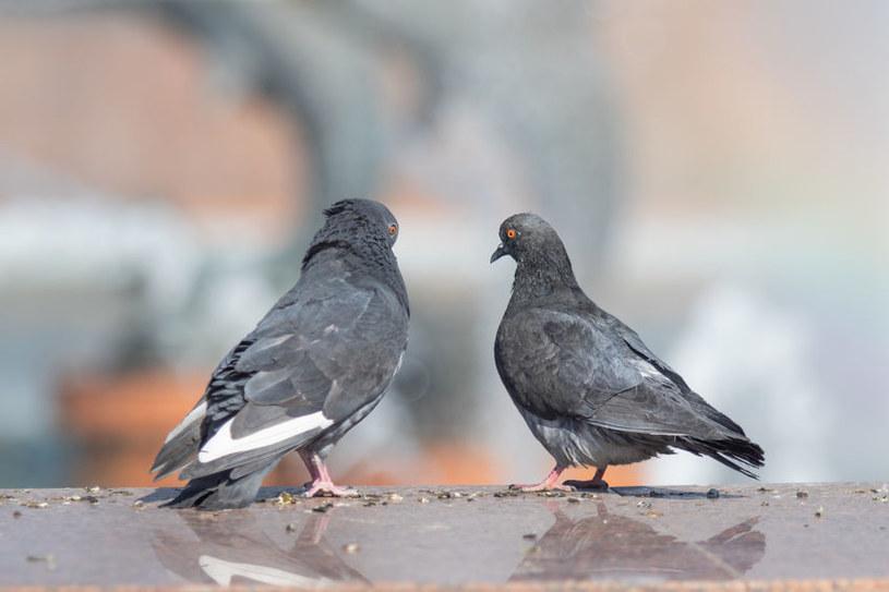 Gołębie roznoszą choroby /©123RF/PICSEL