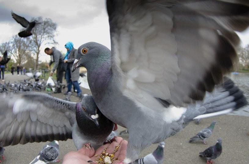 Gołębie to plaga wielu polskich miast. Niekoniecznie chcemy je gościć u siebie na balkonie /FLPA/Jack Perks /East News