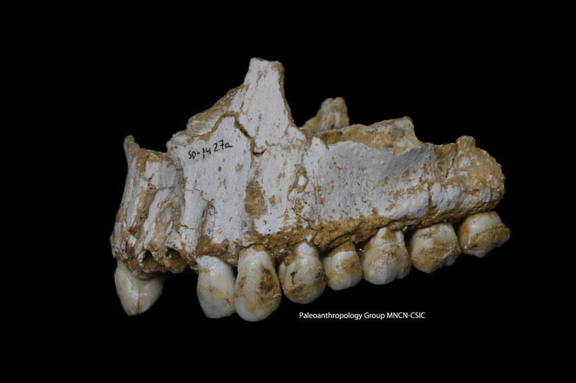 Górna szczęka z jaskini El Sidron. Jej analiza pokazała, że ten osobnik leczył się kwasem salicylowym i penicyliną /materiały prasowe