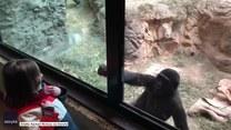 Goryl bawi się z małą dziewczynką