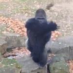 Goryl obrzucił kamieniami zwiedzających zoo