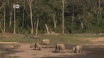Goryle i słonie leśne są zagrożone wyginięciem. Powód?