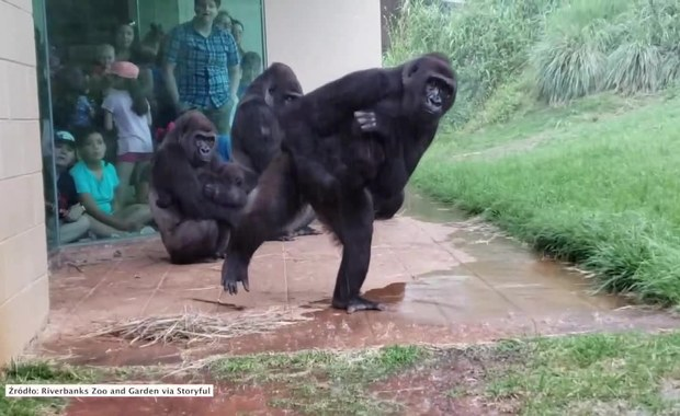 Goryle w zoo w Karolinie Południowej uciekają przed ulewnym deszczem