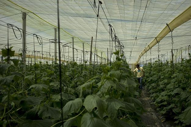 Gospodarstwo w Maladze, gdzie wyhodowano feralne ogórki /AFP