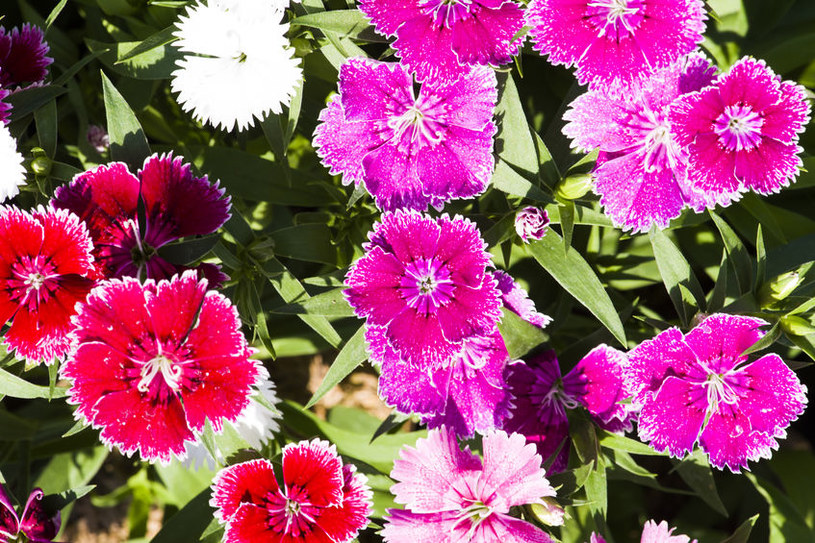 Goździk brodaty to wdzięczna roślina: Jej uprawa nie nastręcza trudności /123RF/PICSEL