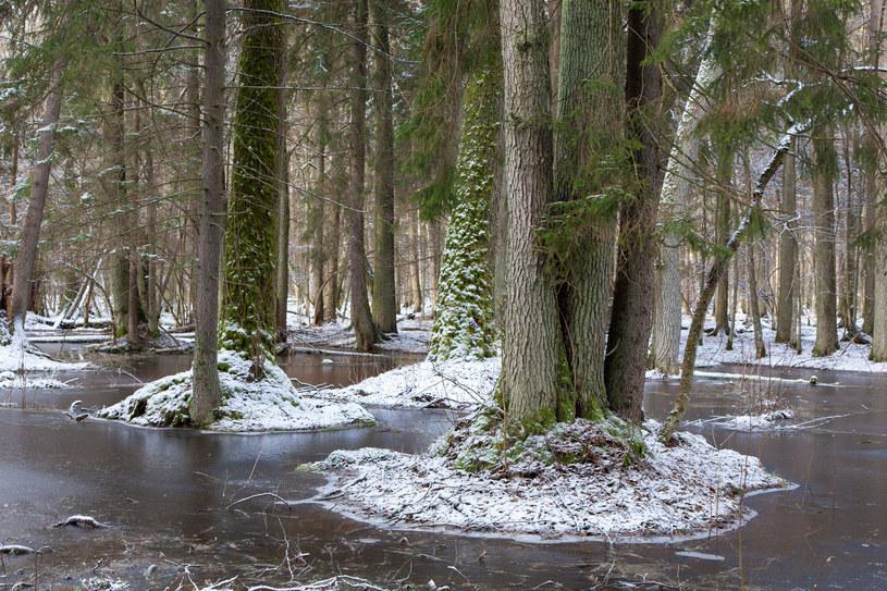 Greenpeace rozpoczął leśne patrole w Puszczy Białowieskiej /Aleksander Bołbot /123RF/PICSEL