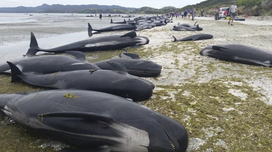 Grindwale to ssaki morskie osiągające długość do 8 metrów /NEW ZEALAND DEPARTMENT OF CONSERVATION /PAP/EPA