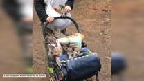 Gromadka małych kangurów zwiedza świat w dziecięcym wózku