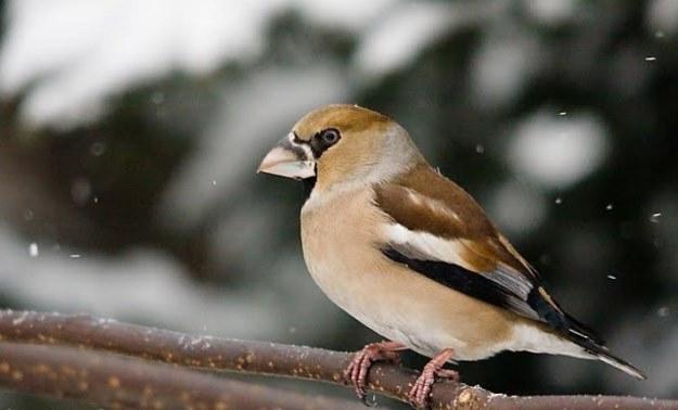 Grubodziób zwyczajny z rodziny łuszczaków - jeden z ptaktów żyjących na terenie katastrofy po awarii w Czarnobylu. Fot. Adam Nietresta /INTERIA.PL