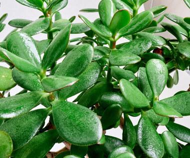 Grubosz: Żelazna roślina, która szybko rośnie, mało wymaga i błyskawicznie się ukorzenia