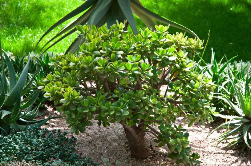 Grubosz, znany jako drzewko szczęścia, pomaga wyleczyć wiele chorób /123RF/PICSEL