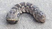 Gruby, dwugłowy wąż? Zgaduj dalej!