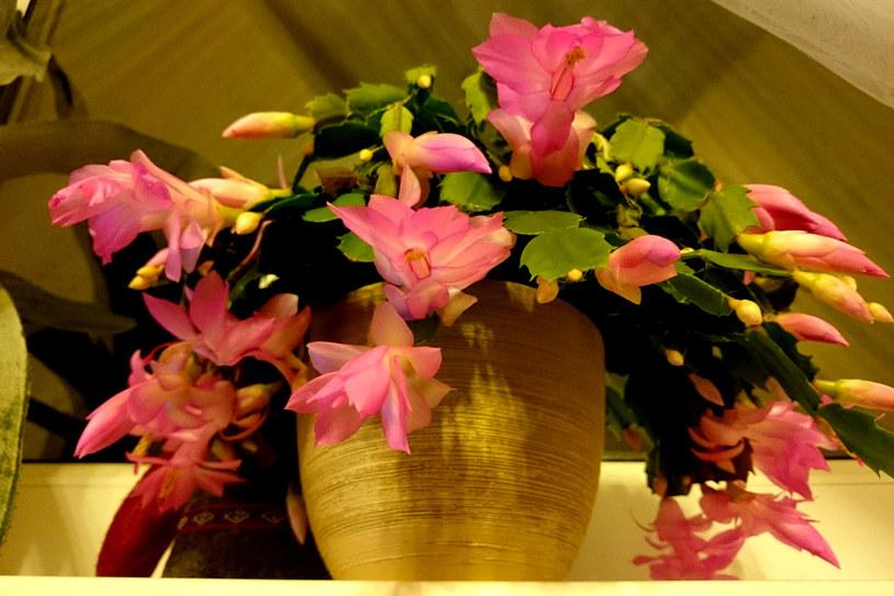 Grudnik jest też nazywany kaktusem bożonarodzeniowym - nazwy pochodzą od czasu, w którym najobficiej kwitnie /123RF/PICSEL