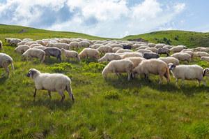 Gruzja: Ponad 500 owiec zmarło od uderzenia pioruna