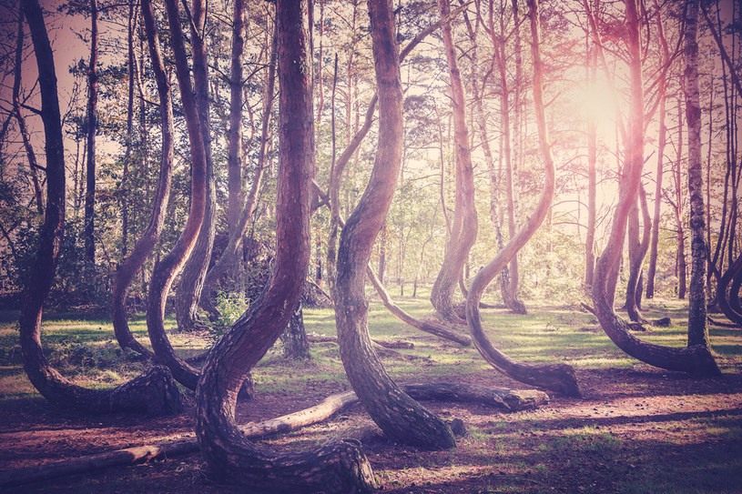Gryfiński las - ciekawostka przyrodnicza /123RF/PICSEL