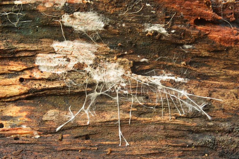 Grzybnia od lat fascynuje badaczy /Picsel /123RF/PICSEL