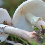Grzyby, które mogą zbierać tylko wytrawni grzybiarze