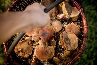 """Grzyby zwane są """"leśnym mięsem"""". Mają wiele witamin i soli mineralnych"""