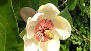 Guma z magnolią na nieświeży oddech