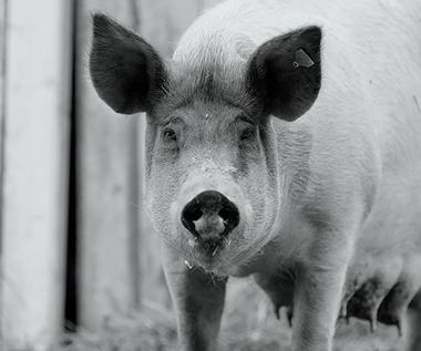 """""""Gunda"""": Więcej niż kino, czyli jak świnia stała się sensacją festiwalu filmowego [recenzja]"""