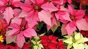 Gwiazda betlejemska może kwitnąć całą zimę!