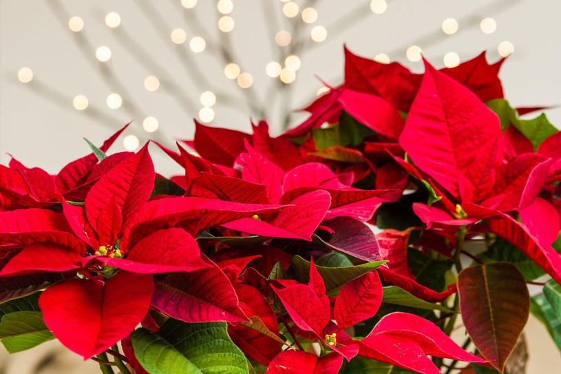 Gwiazda betlejemska od lat jest nieodłącznym elementem świątecznego wystroju domu /123RF/PICSEL