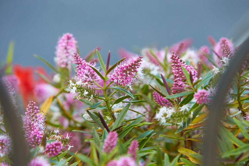 Hebe kwitnie na biało, różowo, niebiesko i fioletowo /123RF/PICSEL