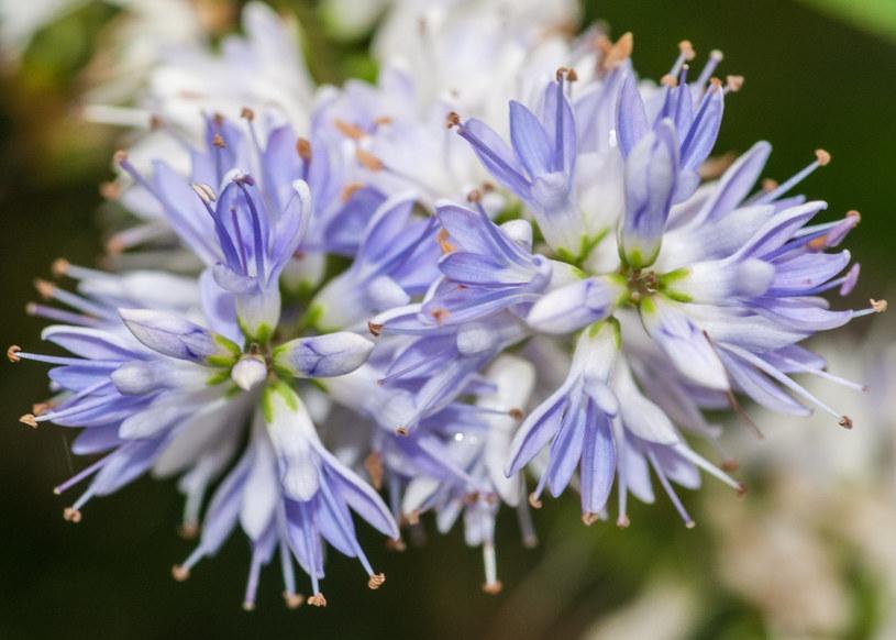Hebe: Roślina, która zdobi ogród cały rok /123RF/PICSEL