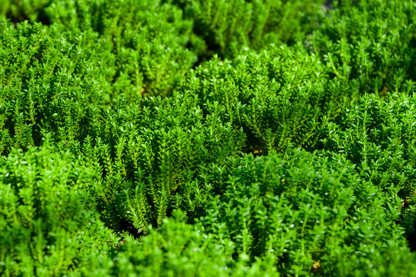 Hebe to roślina zimozielona /123RF/PICSEL