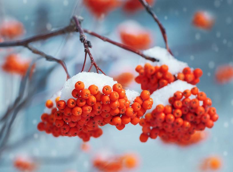Herbatka, nalewka i syrop z jarzębiny pomogą ci w walce z przeziębieniem /123RF/PICSEL